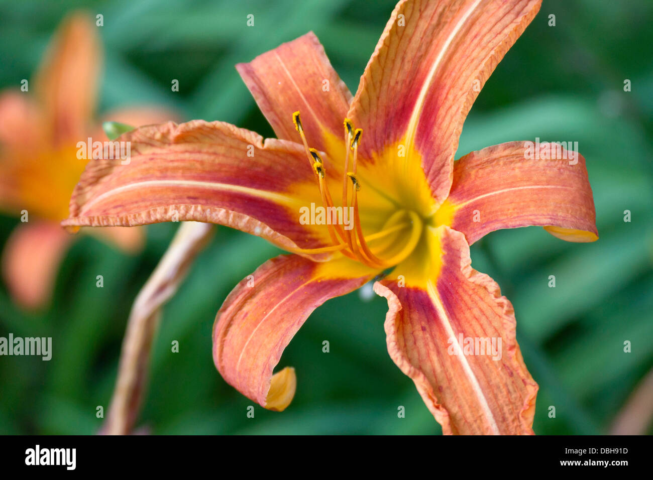 957b1a1209a32 Close up of a brilliantly colored orange lilly flower in full bloom ...