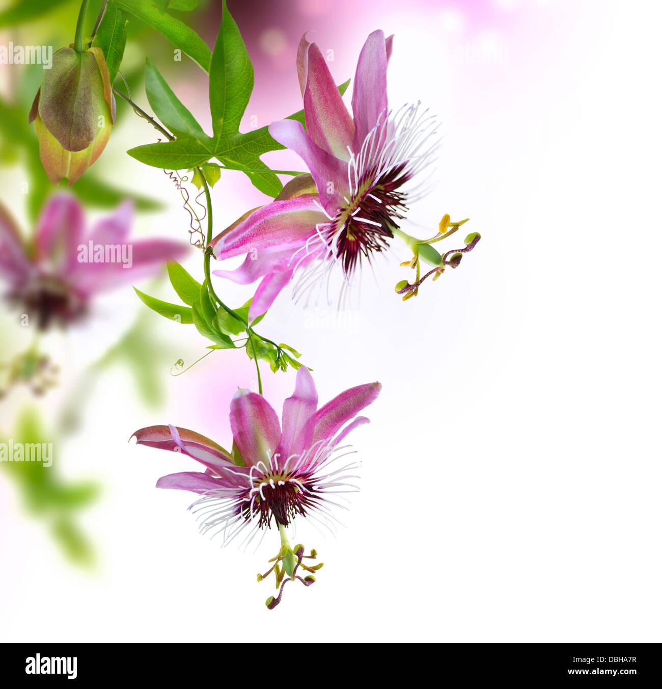Passiflora Border Design Stock Photo 58773563 Alamy