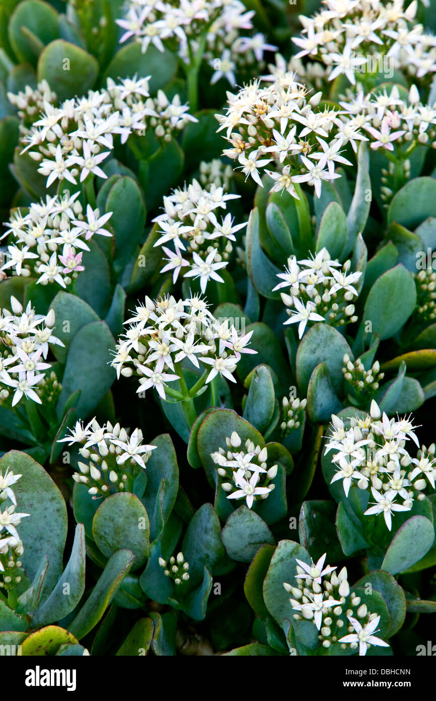 Star shaped flowers stock photos star shaped flowers stock images a flowering crassula spathulata succulent with green spade shaped leaves and white mightylinksfo