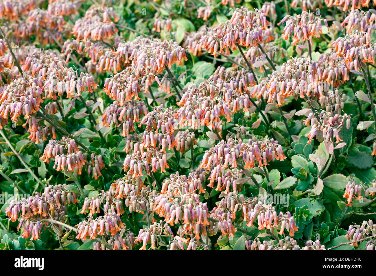 Bell shaped flowers stock photos bell shaped flowers stock images light purple and orange bell shaped flowers on a succulent plant stock mightylinksfo Images