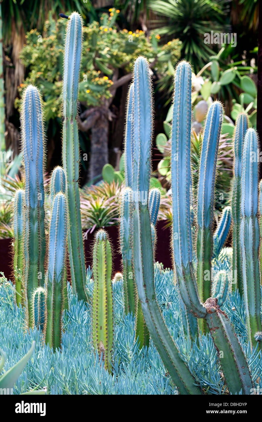 A group of blue-grey cactus plants in a garden of desert succulents. - Stock Image