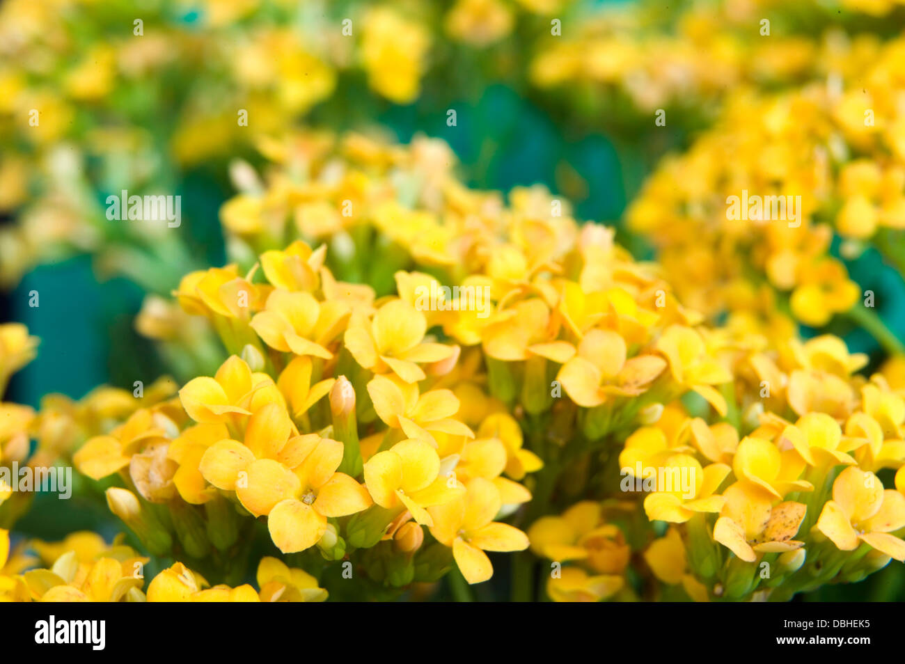 Bright Yellow Kalanchoe Succulent Flowers Against A Blue Background