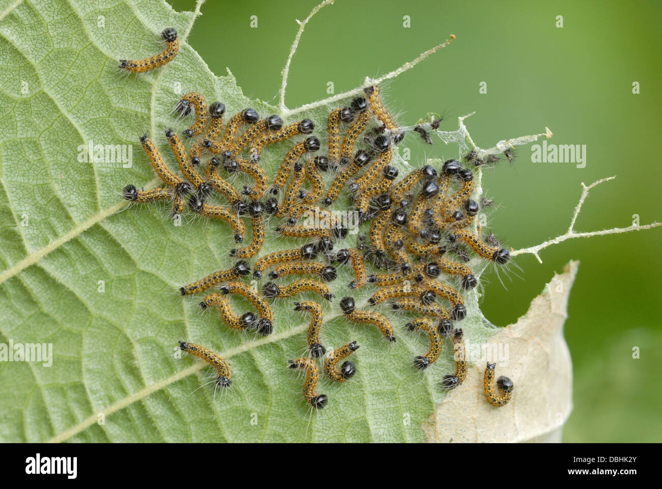 Buff-tip caterpillars (Phalera bucephala) on a Hazel leaf - Stock Image