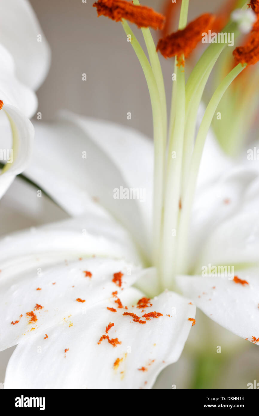 white lily with pollen on petals - Stock Image