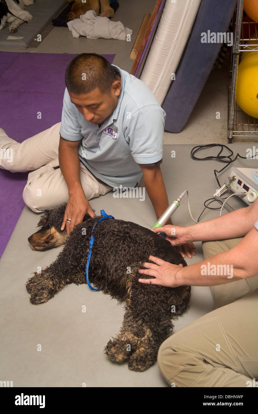 Hispanic veterinary technician assists with a theraputic laser treatment to help a dog recover from intervertebrae - Stock Image