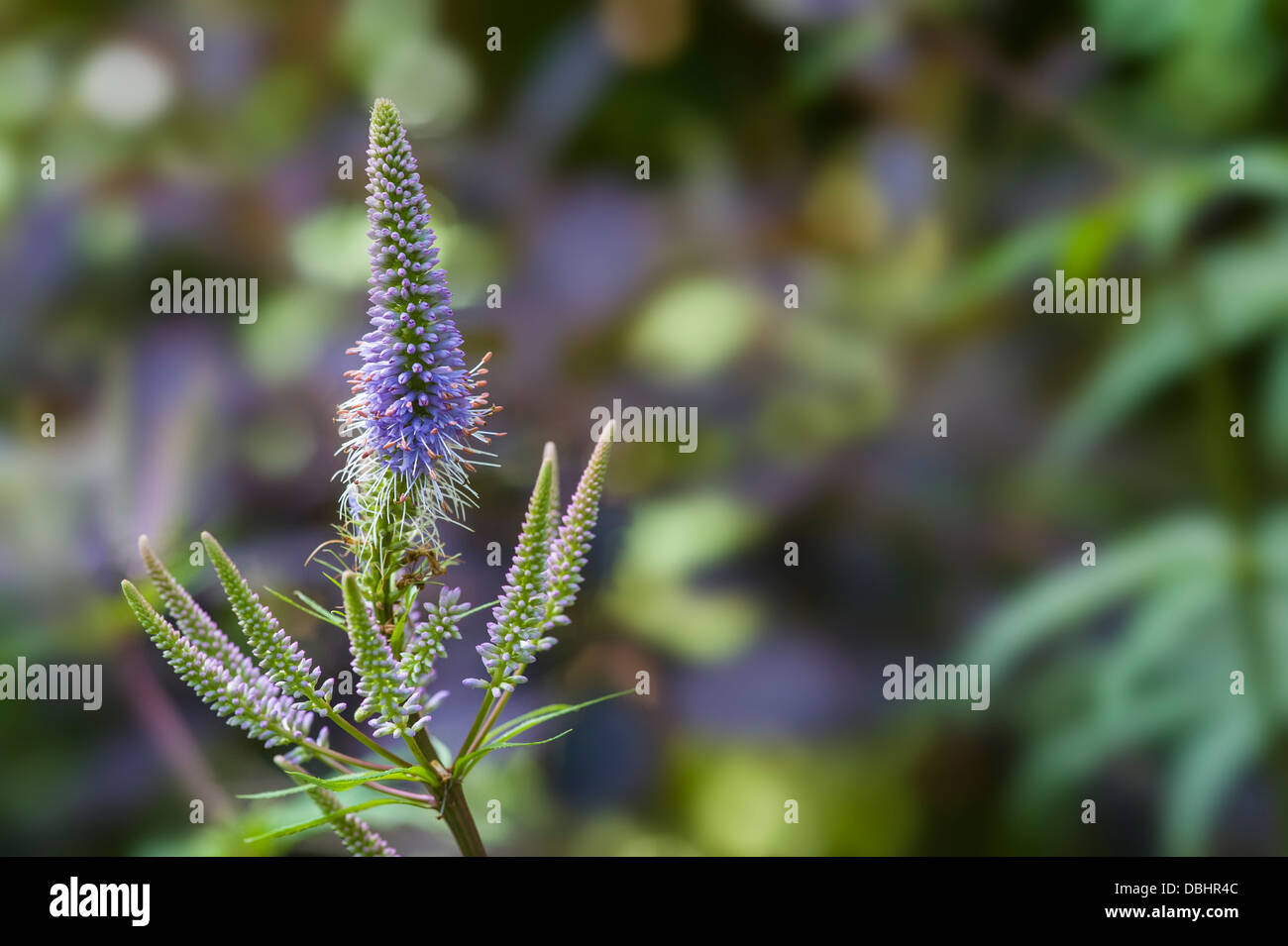 Veronicastrum virginicum 'Fascination' - Stock Image