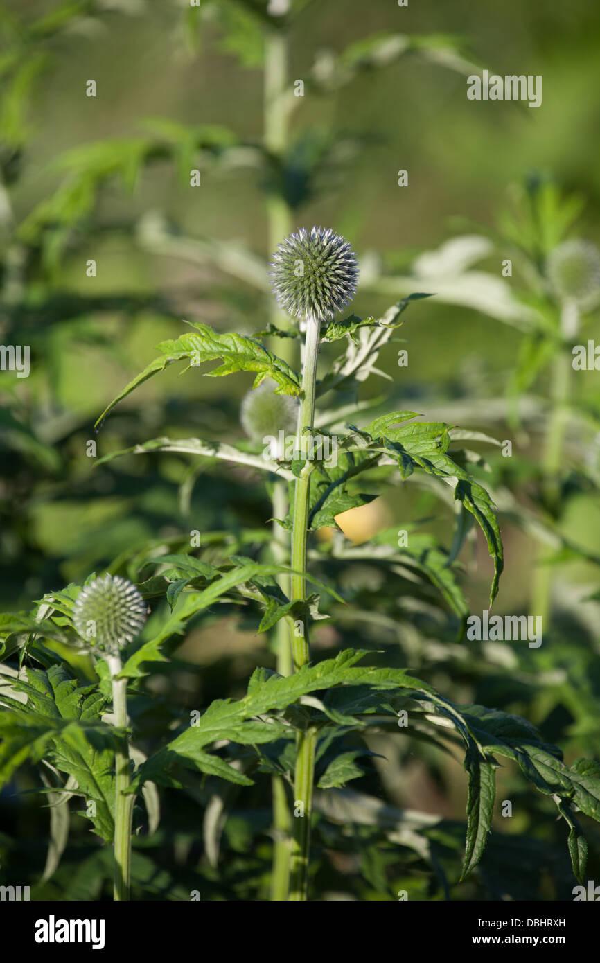 Globe thistle in bud Echinops - Stock Image