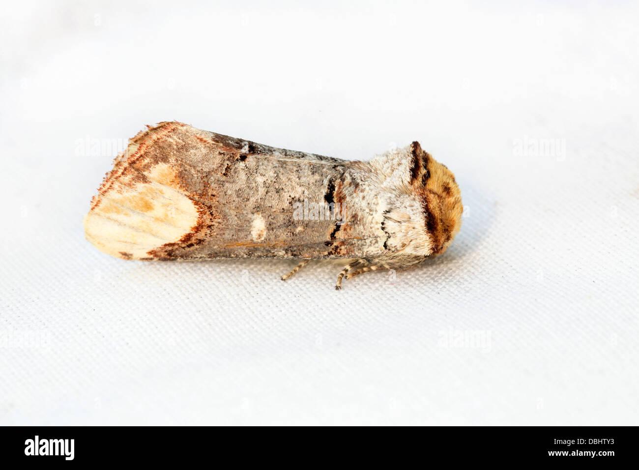 Buff Tip Moth; Phalera bucephala; July; UK - Stock Image
