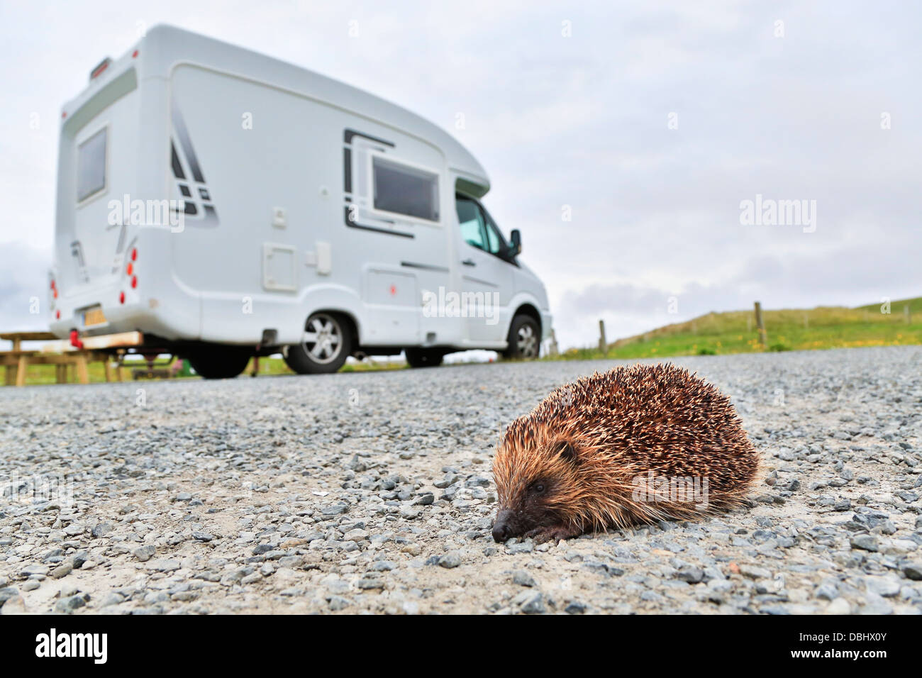 Hedgehog; Erinaceus europaeus; Crossing Car Park; Shetland; UK - Stock Image