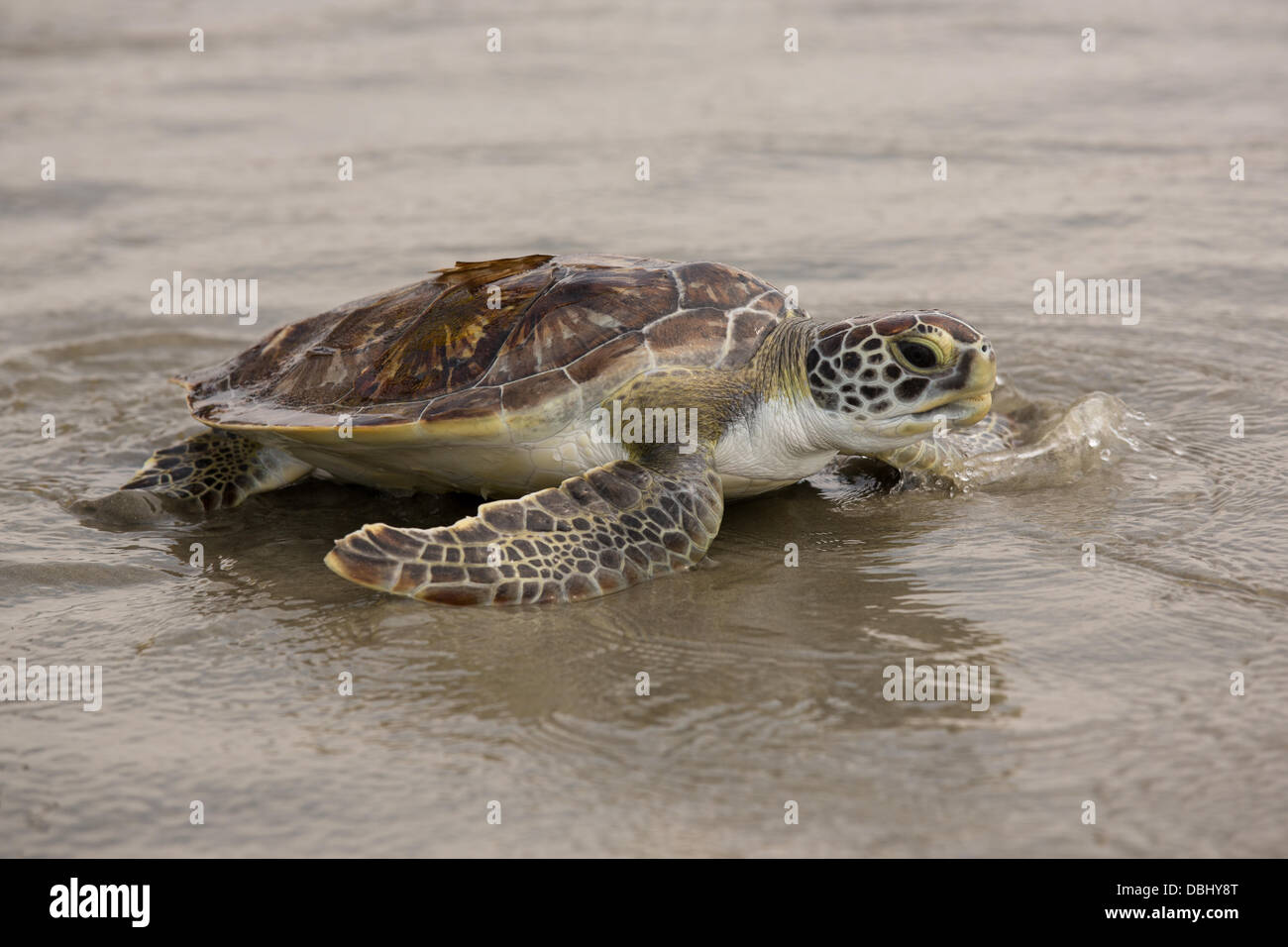 A green sea turtle rescued by the South Carolina Aquarium Turtle Rescue Hospital is released in the Atlantic Ocean - Stock Image
