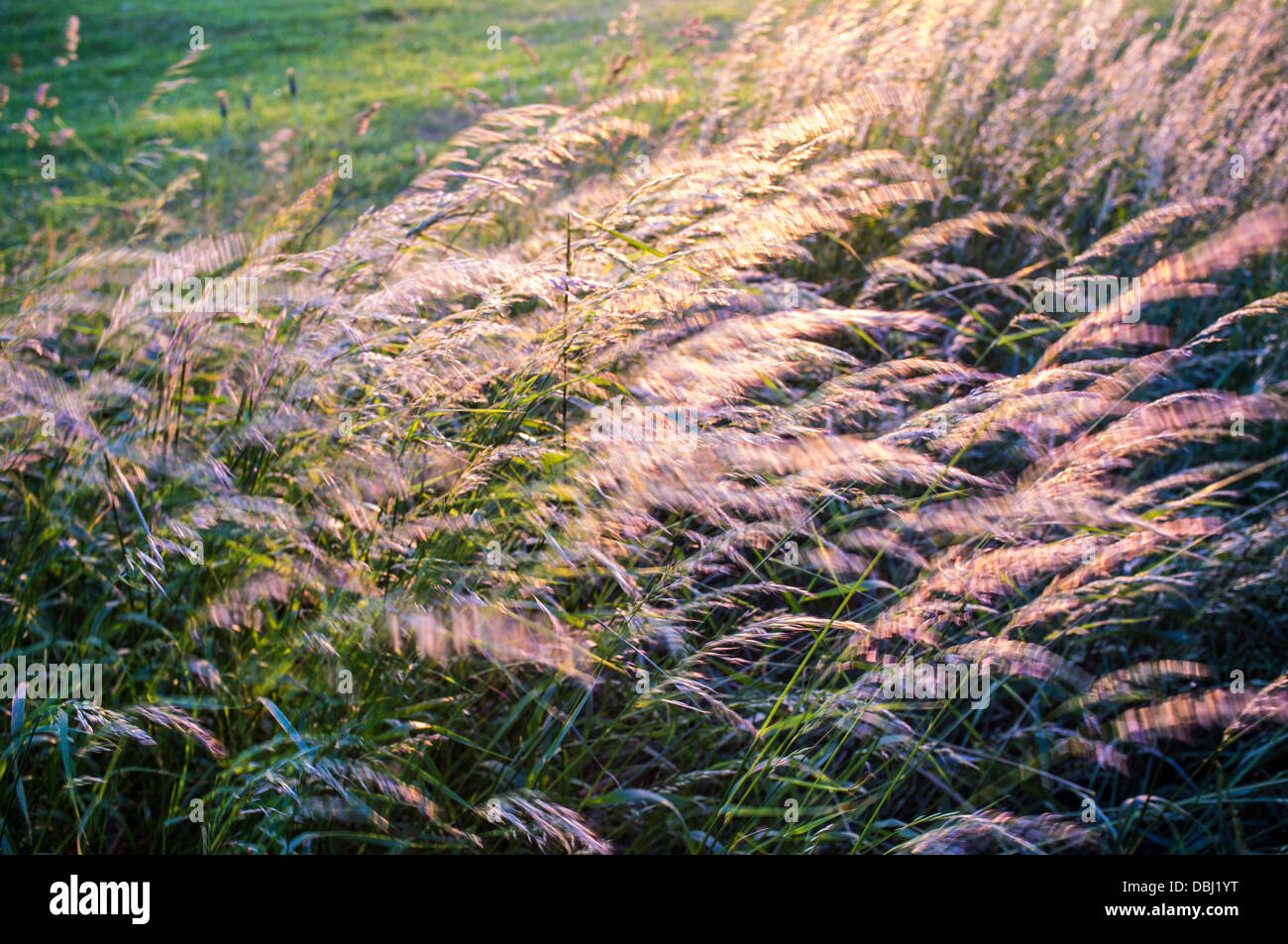 Long grass in motion in wind - Stock Image