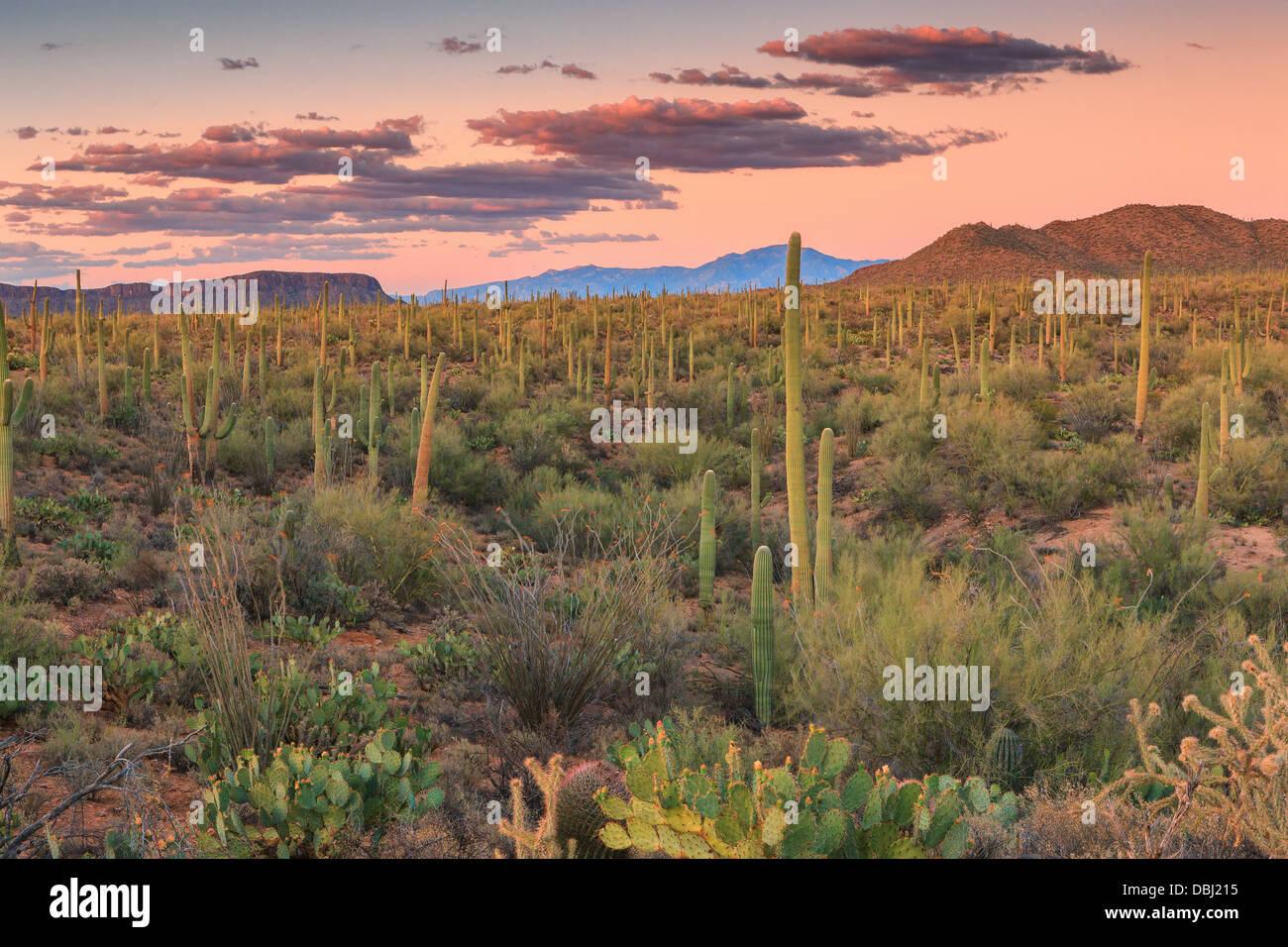 Saguaro National Park from Signal Hill, Arizona, USA - Stock Image
