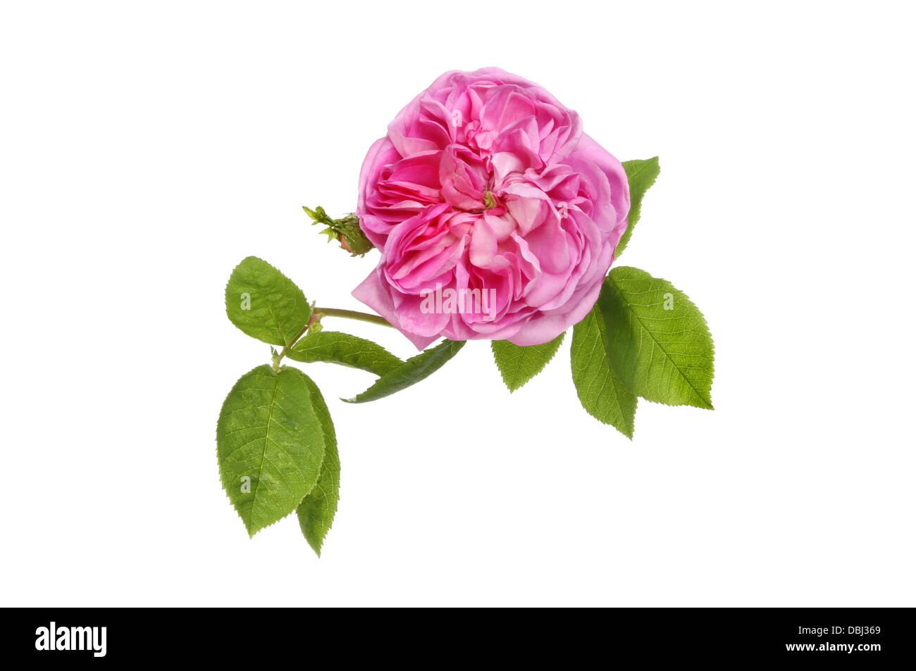 Magenta floribunda rose and leaves isolated against white - Stock Image