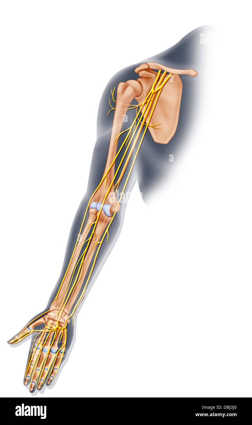 Drawing Anatomy Limb Upper Stock Photos & Drawing Anatomy Limb Upper ...
