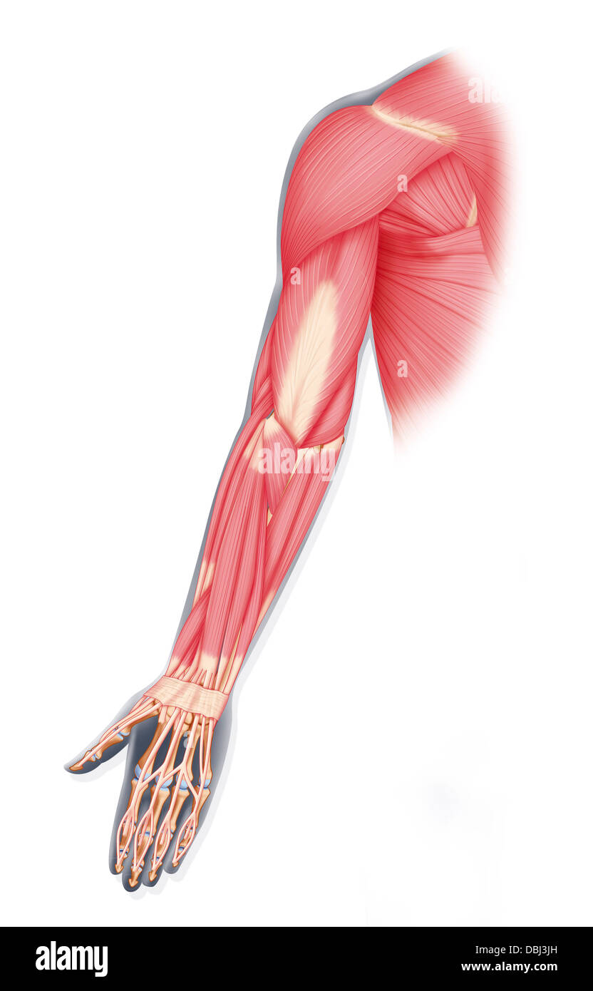 UPPER LIMB MUSCLE, DRAWING Stock Photo: 58790329 - Alamy