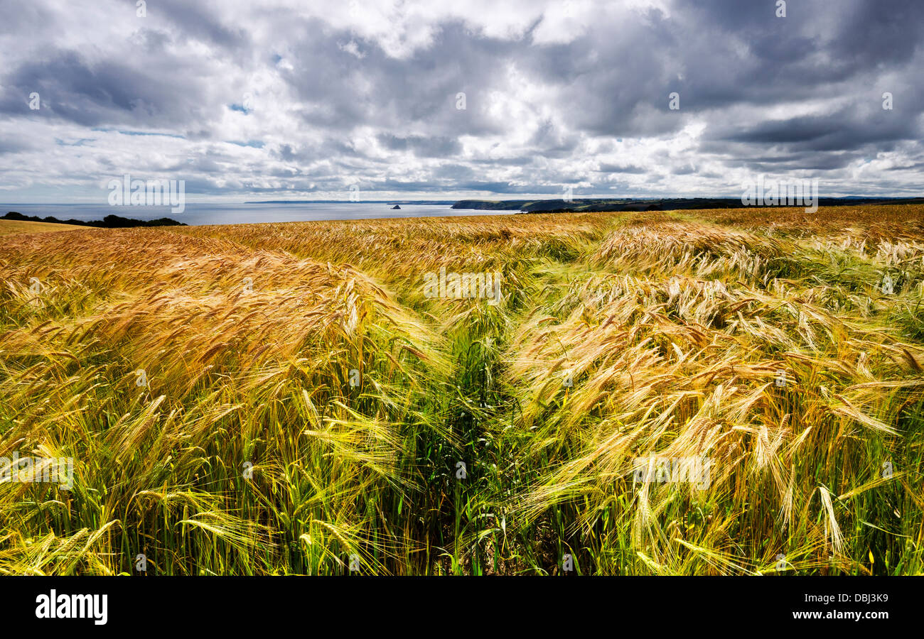 A field of golden ripe barley overlooking the sea in on the south coast of Cornwall - Stock Image