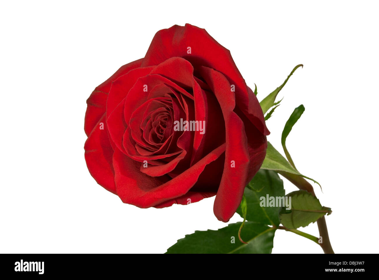 The photo shows a red rose, isolated on white background. - Stock Image
