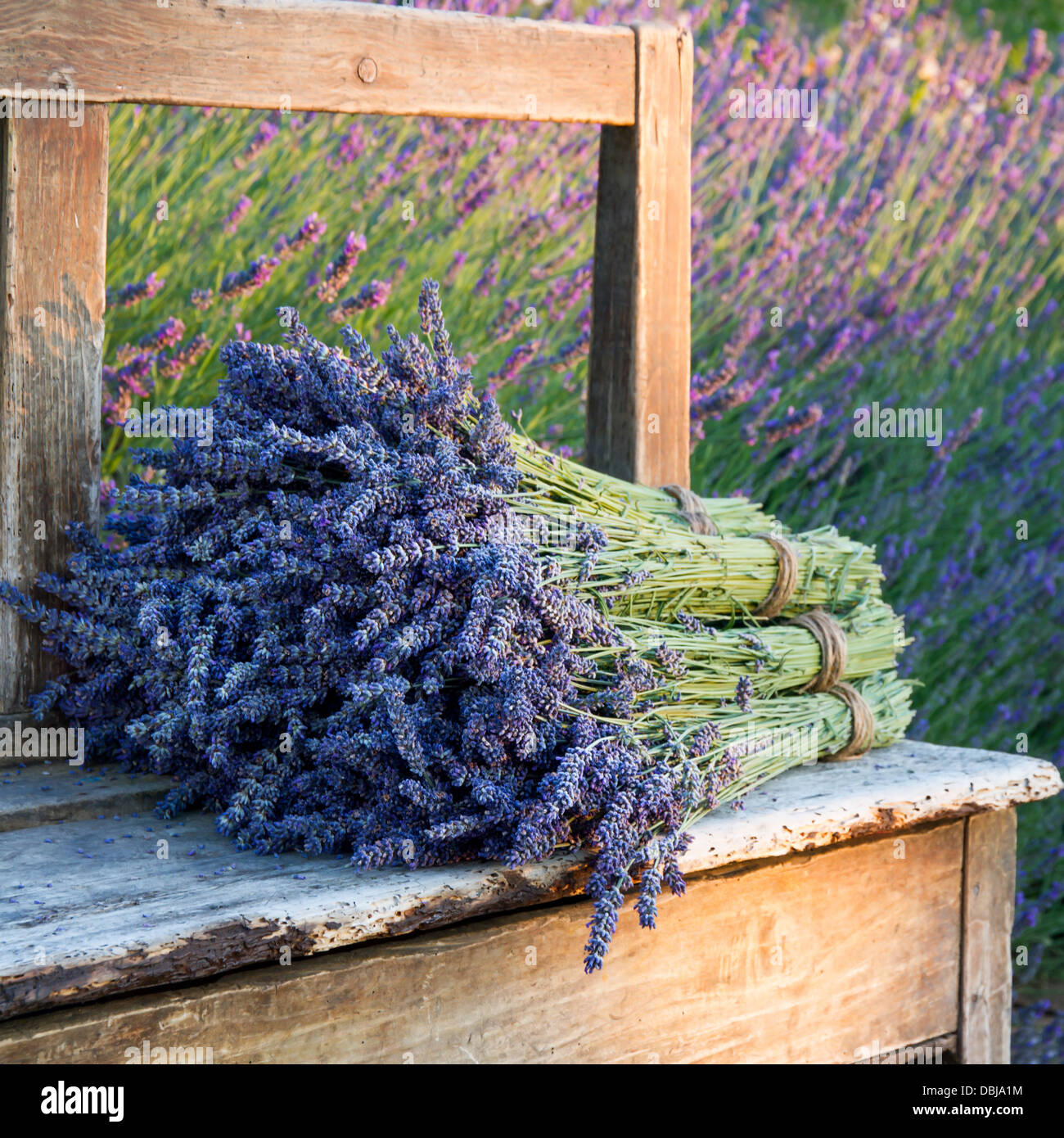 Pile of lavender flower bouquets on a wooden old bench in a summer garden Stock Photo