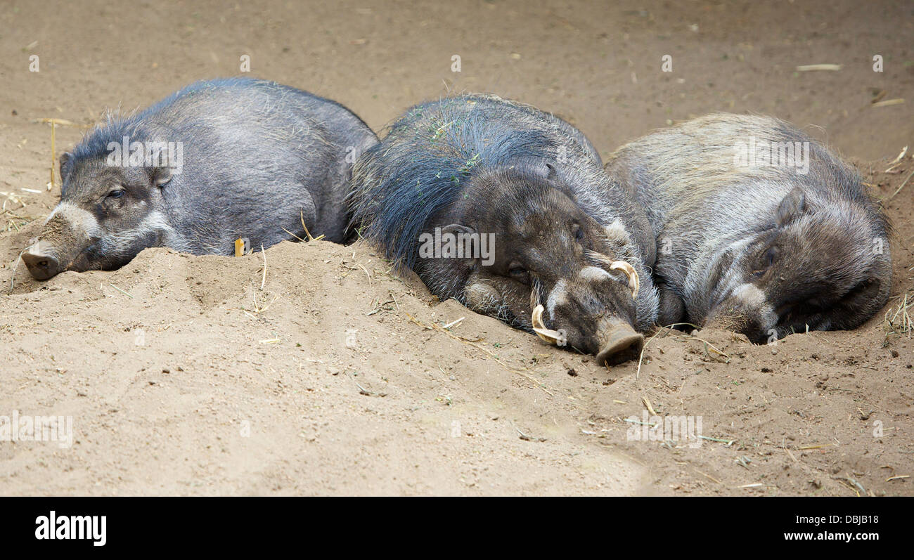 Three sleeping Sleeping North Sulawesi babirusa, an Indonesian pig - Stock Image
