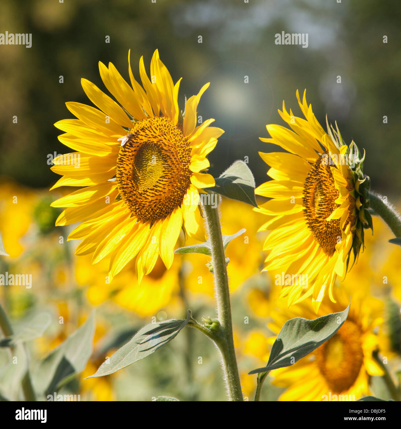 Two sunflowers in a field of sunflowers - Stock Image