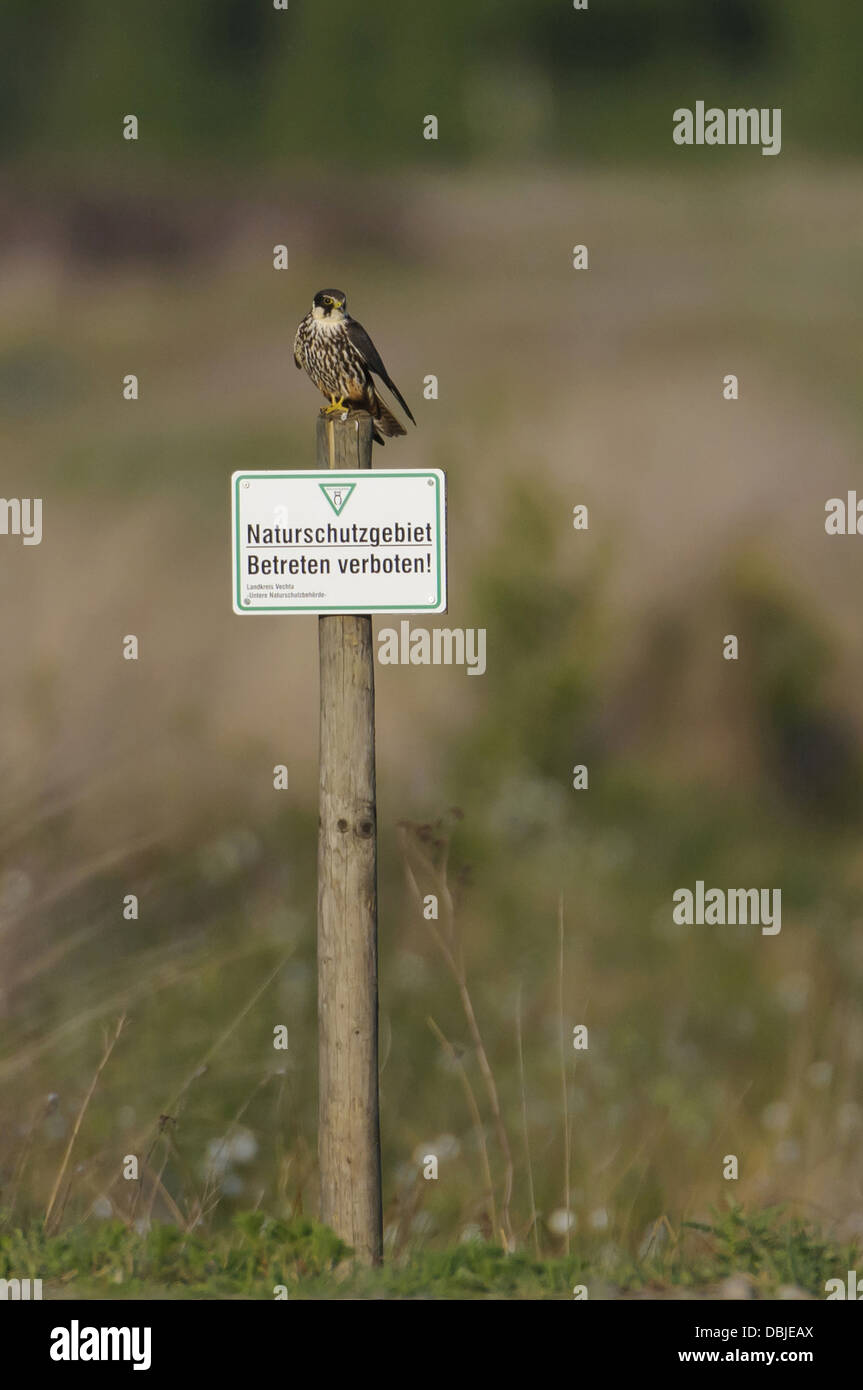 Eurasian Hobby on a sign for nature reservation area, Falco subbuteo, Lower Saxony, Germany, Europe - Stock Image
