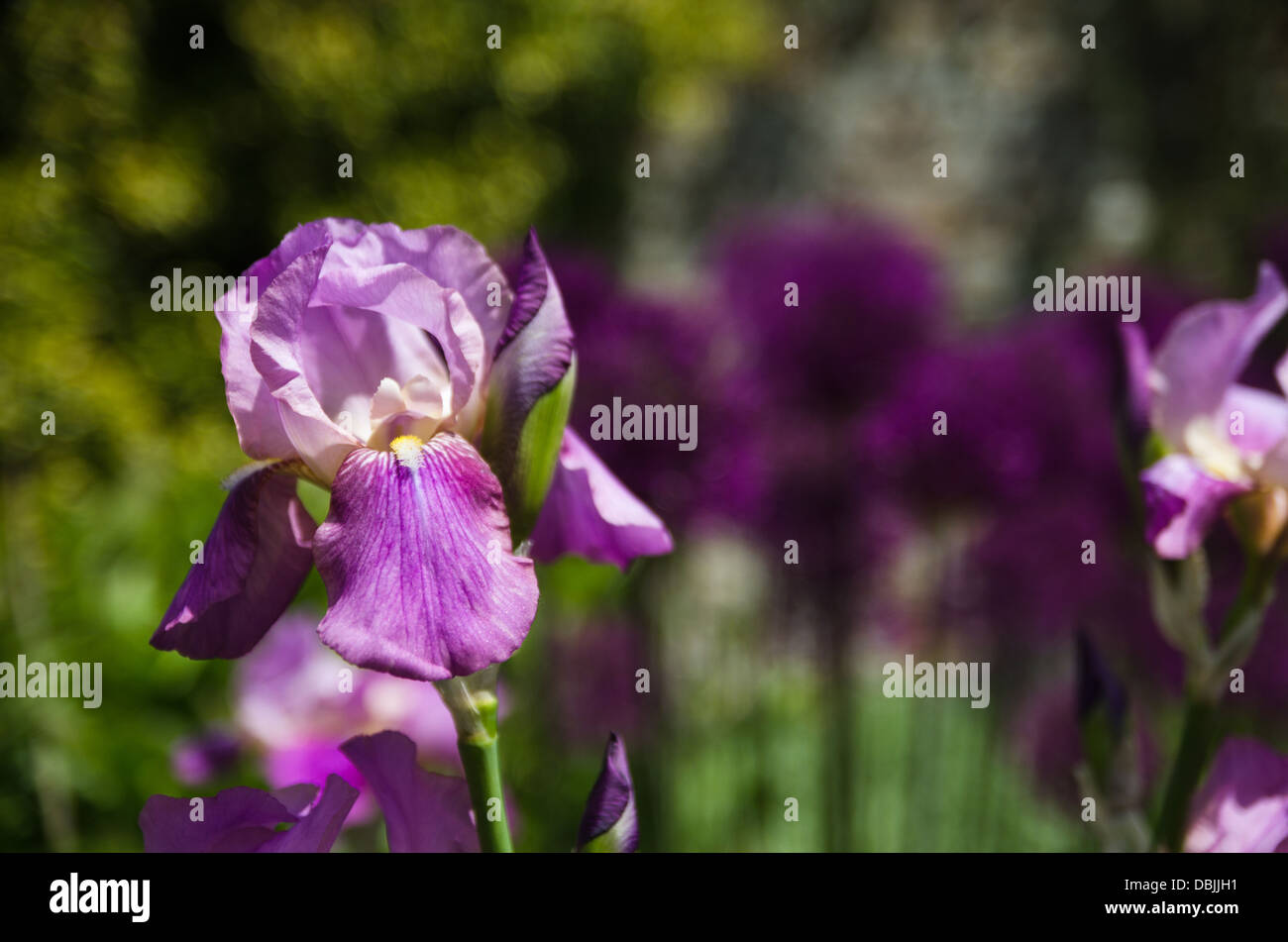 Purple Iris In A Flower Bed Stock Photo 58802045 Alamy