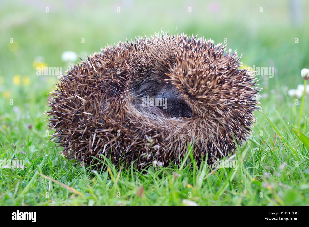 Hedgehog; Erinaceus europaeus; Curled; Shetland; UK - Stock Image