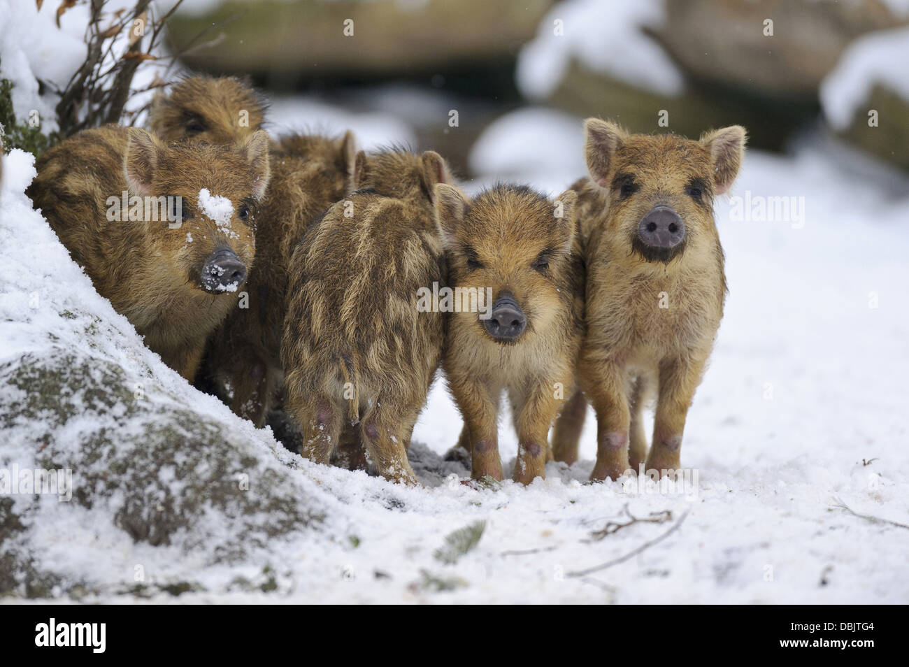 Young Wild boars in snow, Sus scrofa, Lower Saxony, Germany, Europe - Stock Image