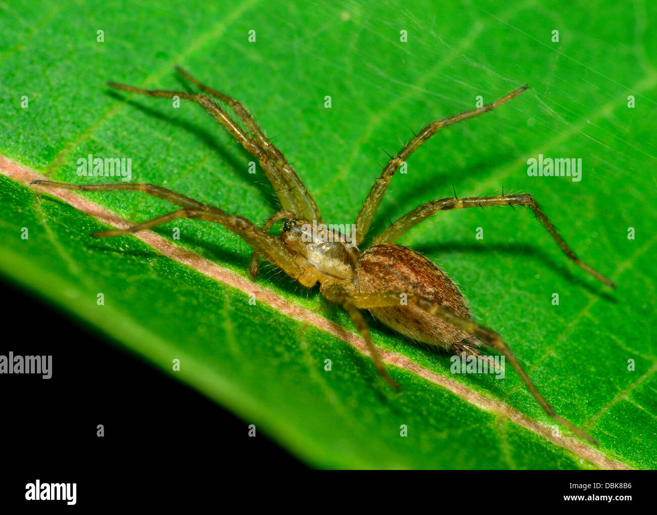A wolf spider perched on a green milkweed leaf. - Stock Image