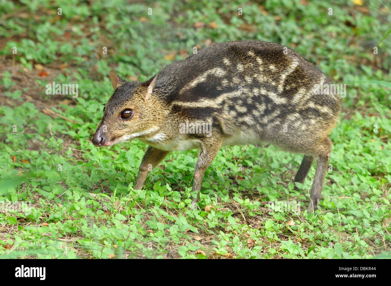 Indian Mouse deer - Stock Image