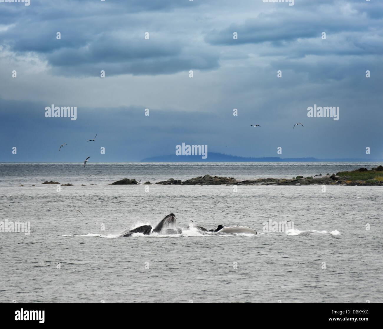 Humpback Whales Bubble Feeding In Alaska - Stock Image