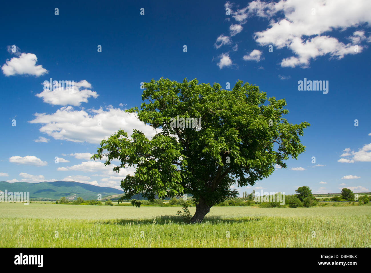 Old green tree in the middle of a field of grains in spring Stock Photo
