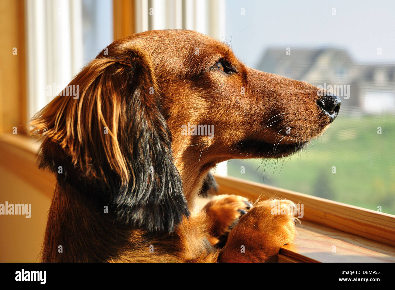 Dachshund dog waiting / looking out of the window - Stock Image