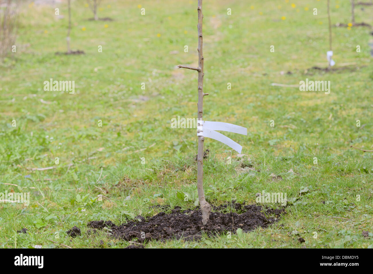 Young fruit trees recently planted in grassland with a mulch of composted human waste or Humanure, Wales, UK. - Stock Image