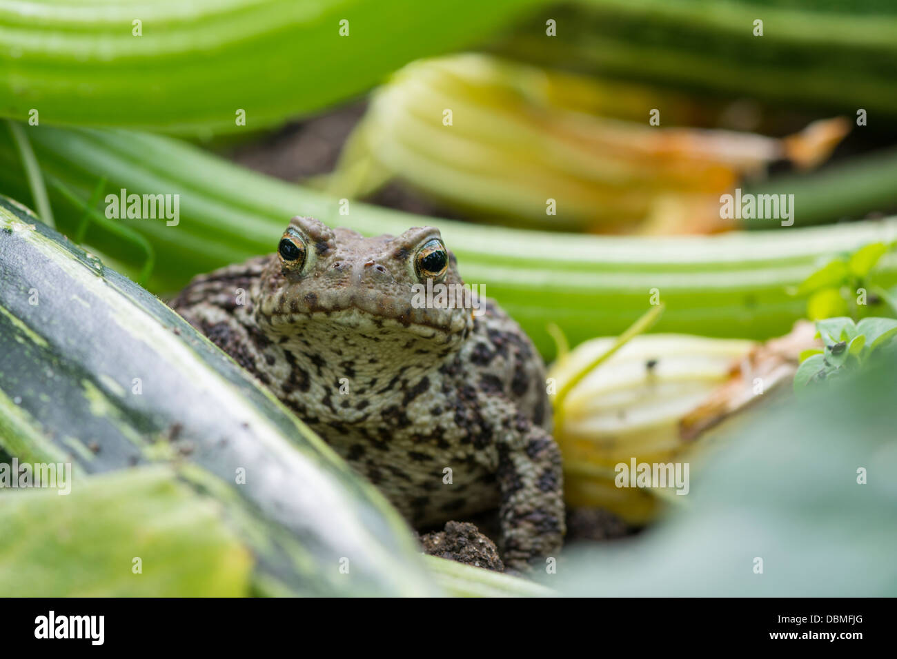 Common Toad England July bufo bufo waiting for prey amongst base of garden courgette plant - Stock Image