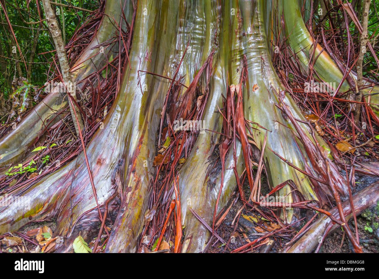 Rainbow Eucalyptus tree, Eucalyptus deglupta - Stock Image