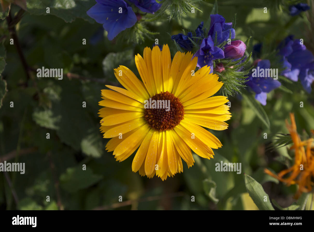 wild Flowers growing in their natural habitat many different colours and shades with leaves in the background - Stock Image