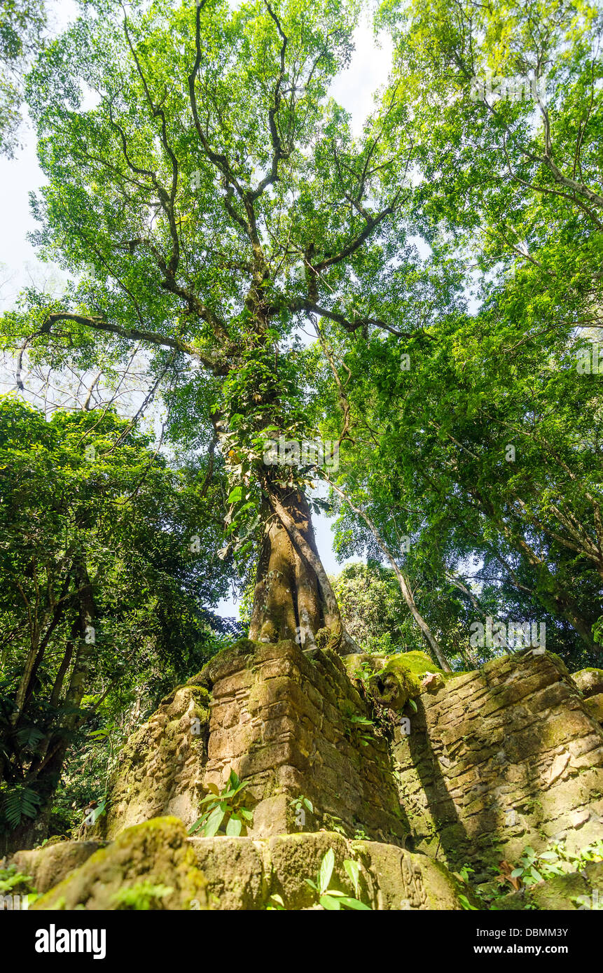 Tall tree in the jungle growing out of ancient Mayan ruins - Stock Image
