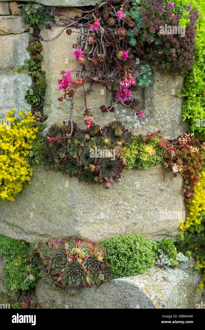 Stonecrop, alpines and sempervivums planted to effect in old masonry garden feature - Stock Image