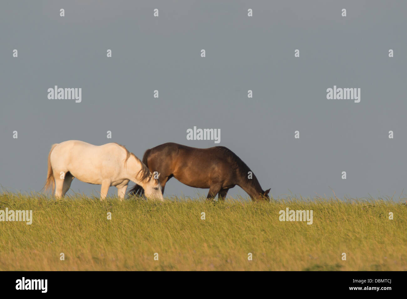 A brown and a white horse eating grass - Stock Image