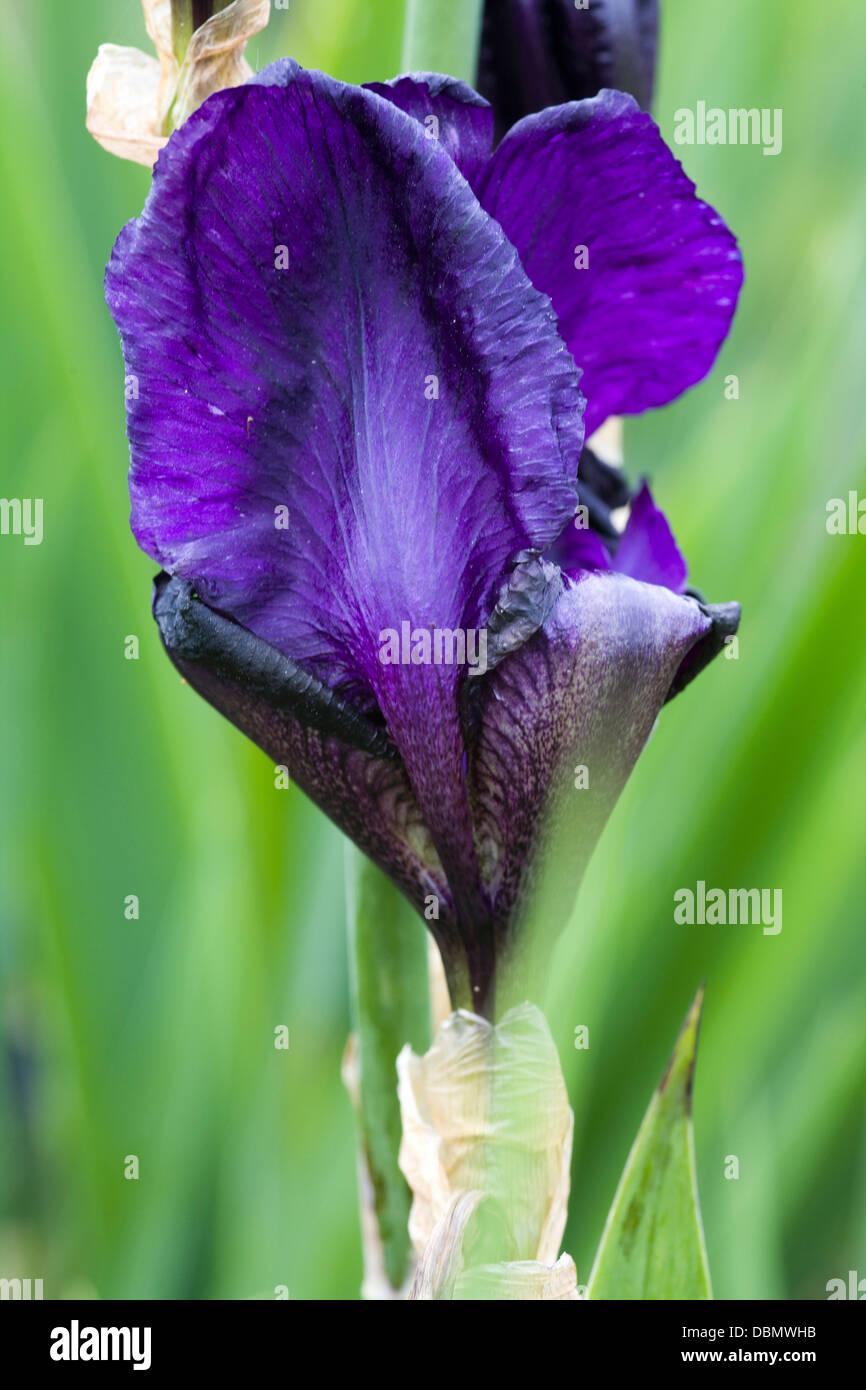 Close up of an Iris 'Deep Black' `Beginning to flower 'Sable Night' - Stock Image
