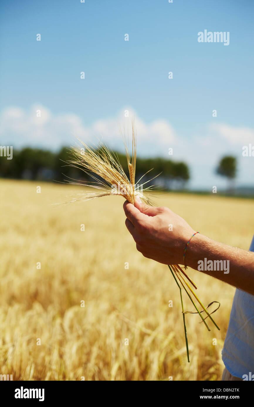 Farmer Holding Wheat Stalks In Hands, Croatia, Dalmatia, Europe - Stock Image