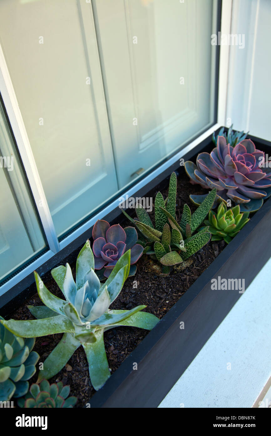 Cacti Growing in Window Box of Home in Bethnal Green EC2- London UK - Stock Image