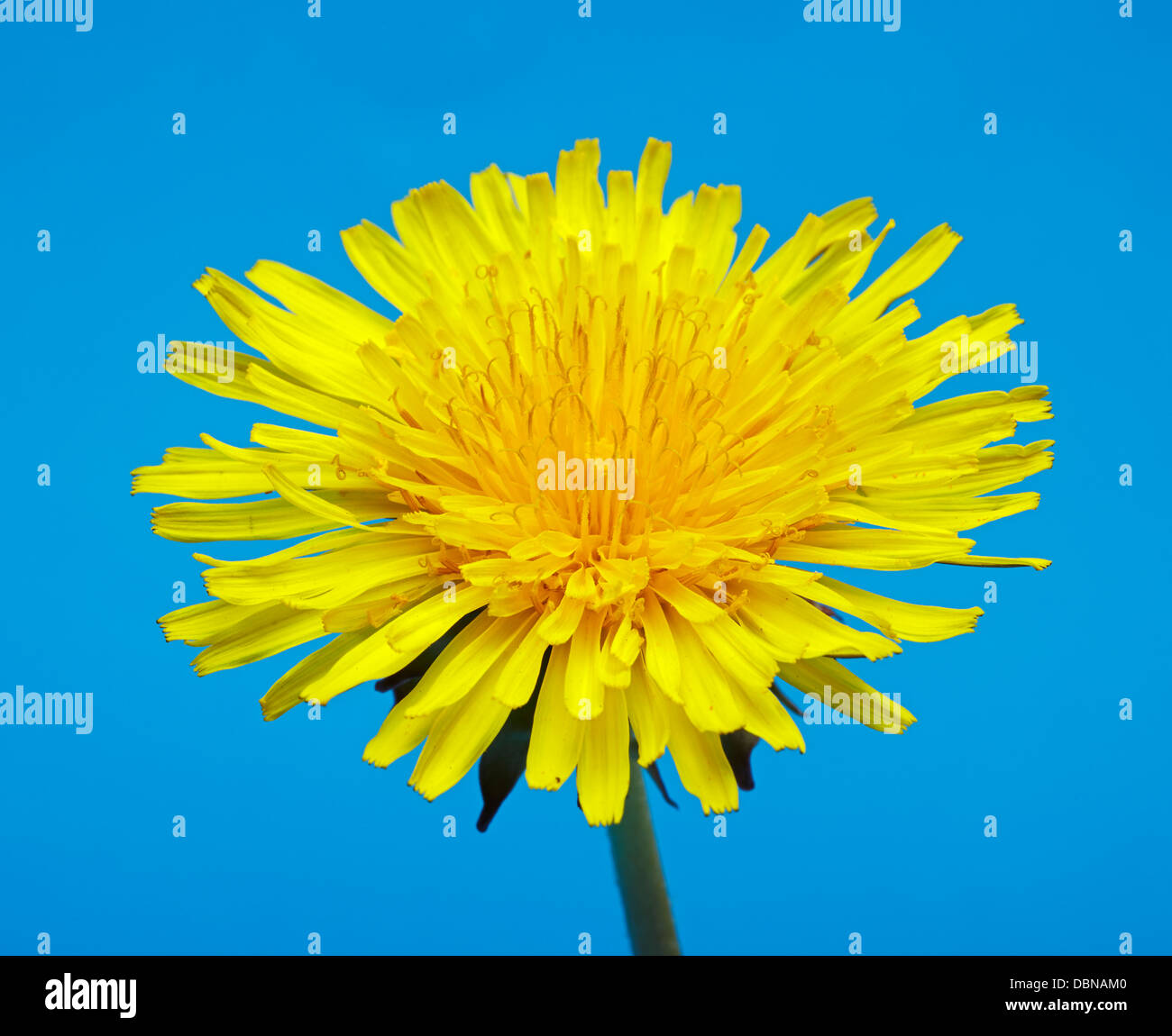 Dandelion flower with blue background - Stock Image