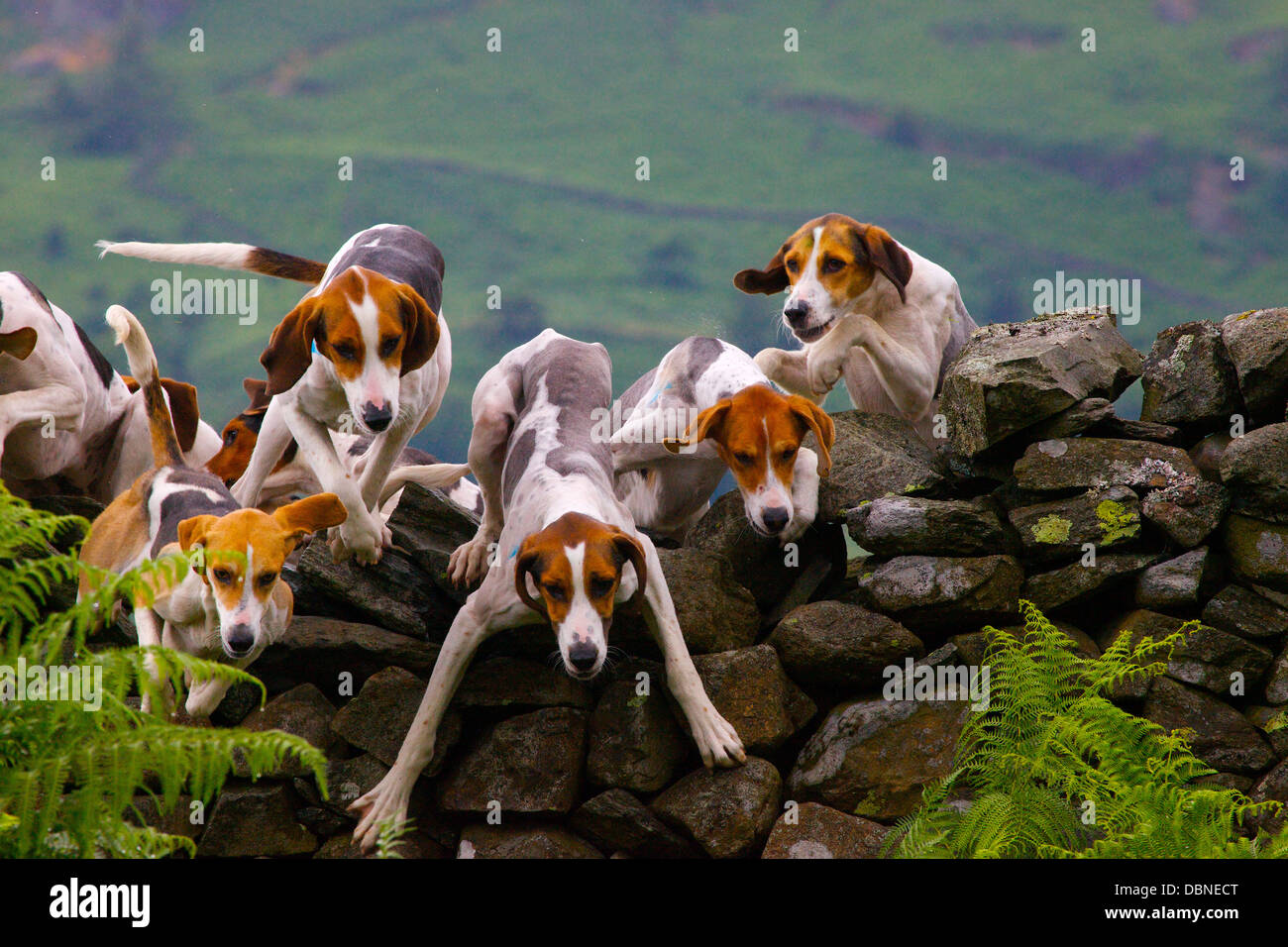 Trail Hounds jumping over a dry stone wall Ambleside Sports in The Lake District, Cumbria, England, UK - Stock Image