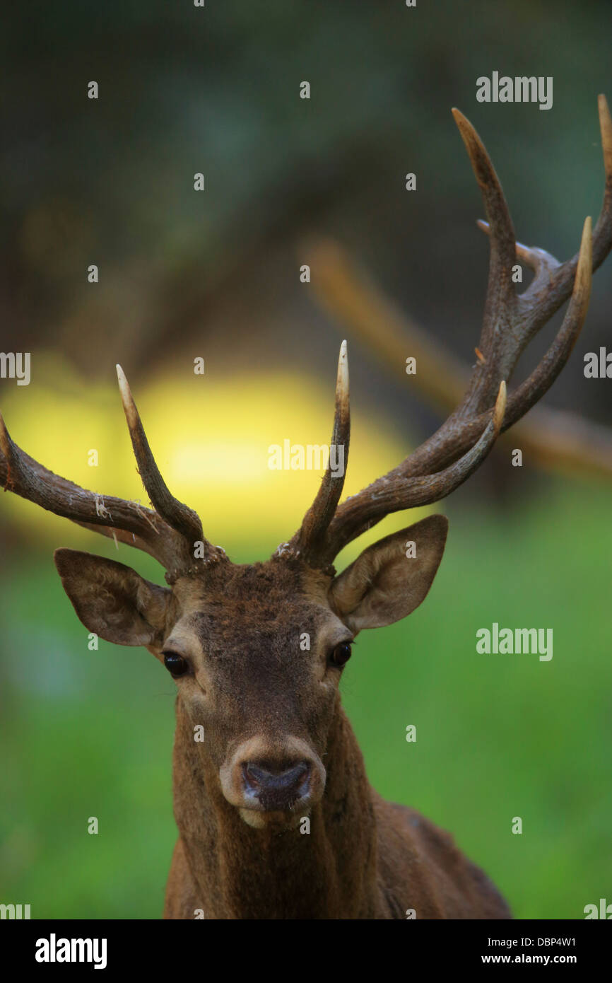 Stag, Portrait - Stock Image