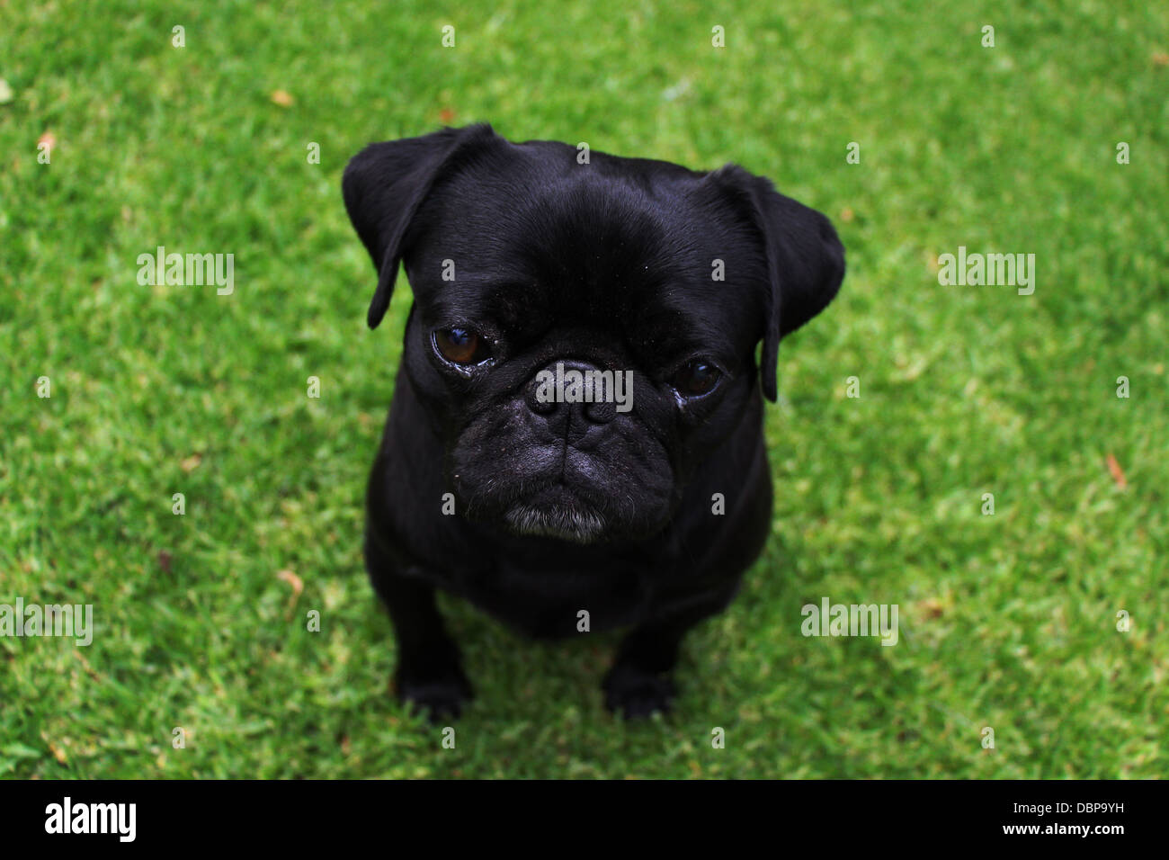 Adorable black pug outdoors with a green grass background - Stock Image