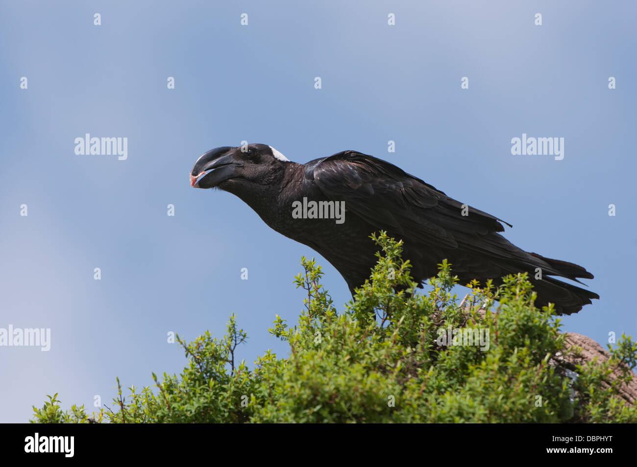 Thick-billed raven (Corvus crassirostris) feeding, Simien Mountains National Park, Amhara region, North Ethiopia, - Stock Image