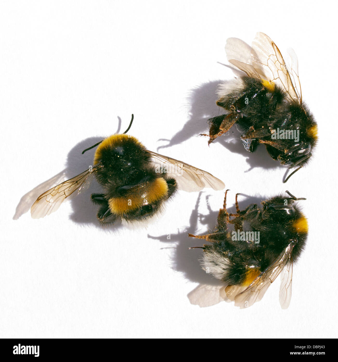 Three dead bees on white background. - Stock Image