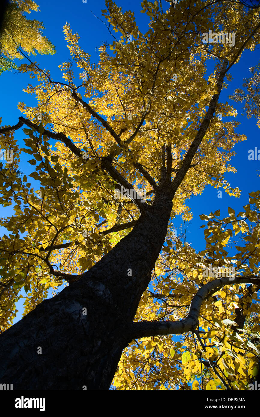 Autumn tree with bright yellow leaves viewed from below. Calgary, Alberta, Canada. - Stock Image